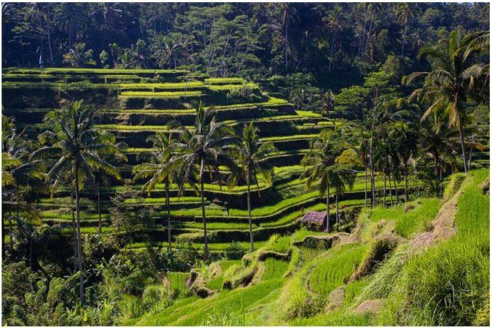 Rice paddies at Ceking (kayugee)
